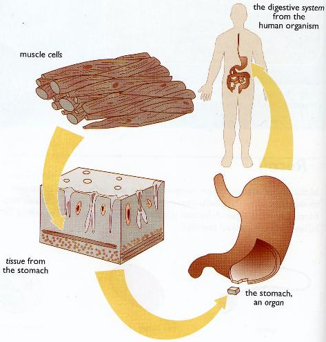 Introductiontocells cyberscienceschool diagram showing interrelationships between cells to tissues and tissues to organs using the human stomach ccuart Image collections